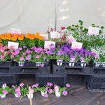 数量限定で昨年の入賞花を販売